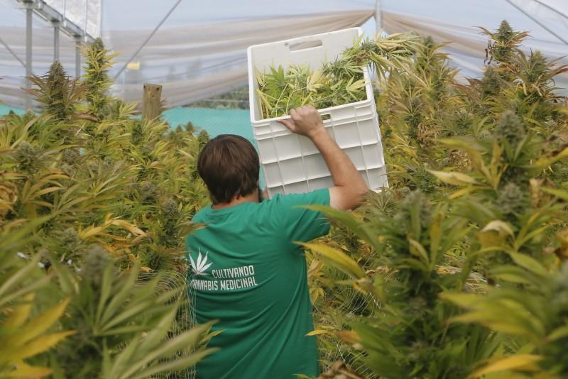 Cosecha en plantación autorizada de Fundación Daya en la Región del Maule (Foto: Fundación Daya)